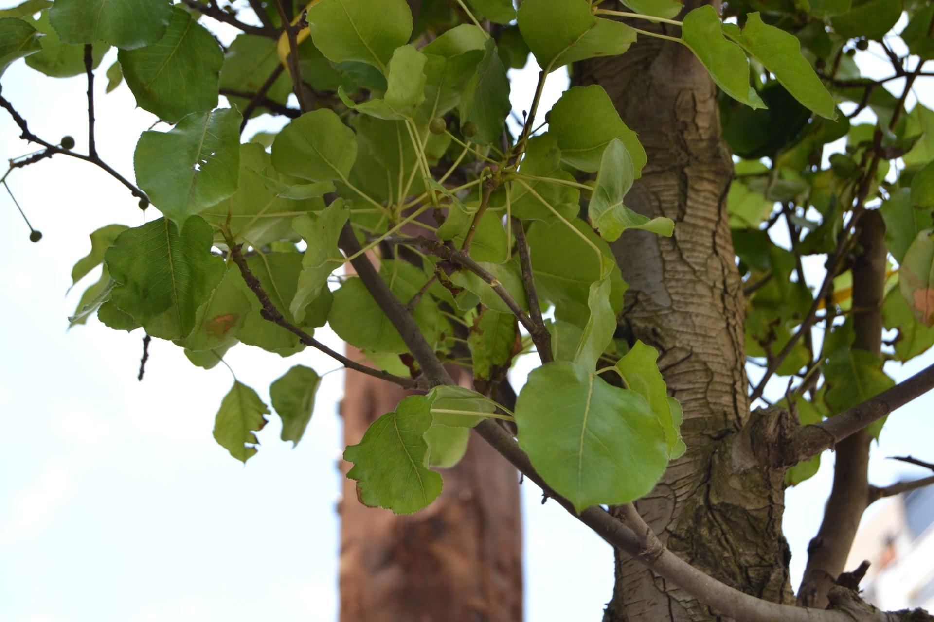 L'Ajuntament interposa una denúncia a un veí per escapçar un arbre públic