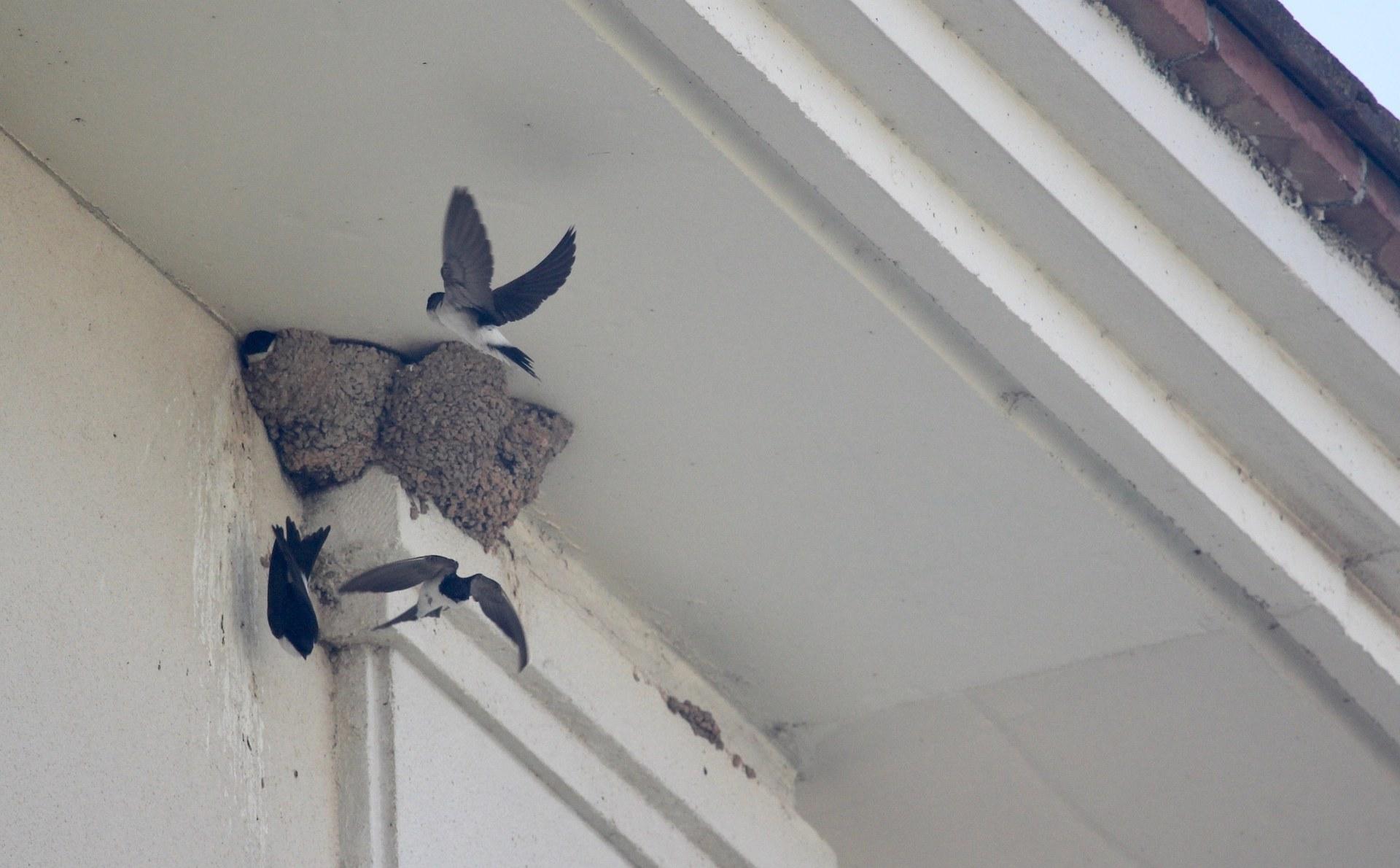 Niu d'orenetes a Sitges. Imatge: Biodiversitat Sitges